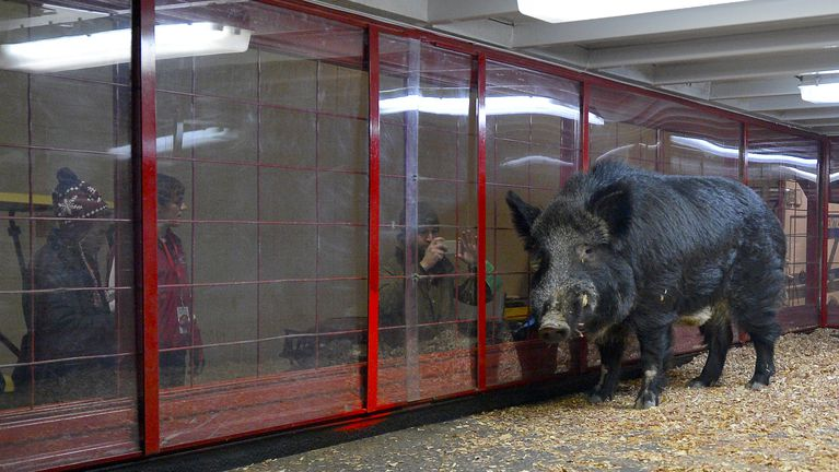 tusk-arkansas-razorbacks