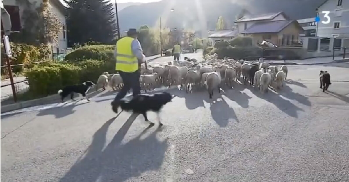 cover-french-farmer-enrolls-sheep-in-school